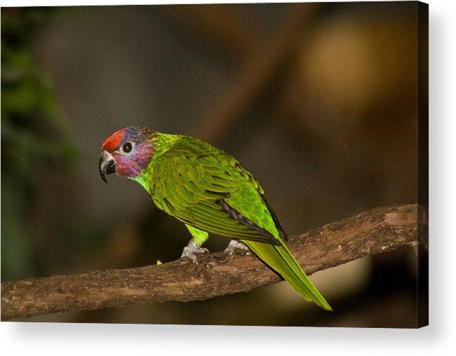 Tropical Acrylic Print featuring the photograph Tropical Bird by Douglas Barnett