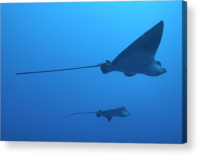 Horizontal Acrylic Print featuring the photograph Two Swimming Spotted Eagle Rays Underwater by Sami Sarkis