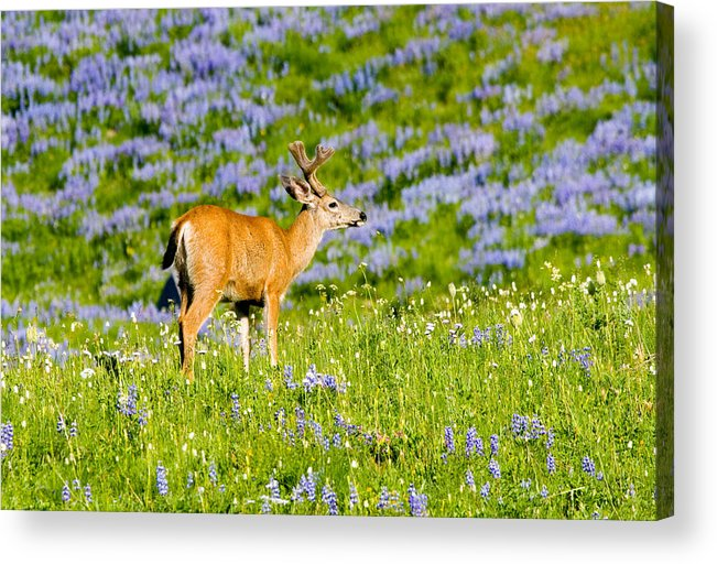 Deer Acrylic Print featuring the photograph Velvet On Lupine by Mike Dawson