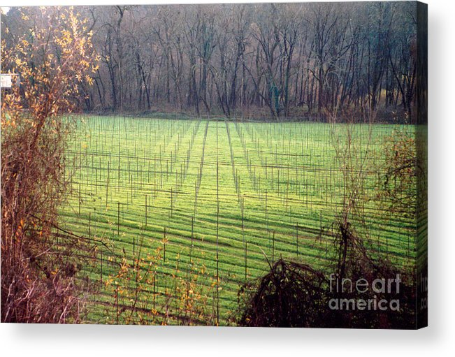 Vineyard Acrylic Print featuring the photograph Vineyard In Napa by PJ Cloud