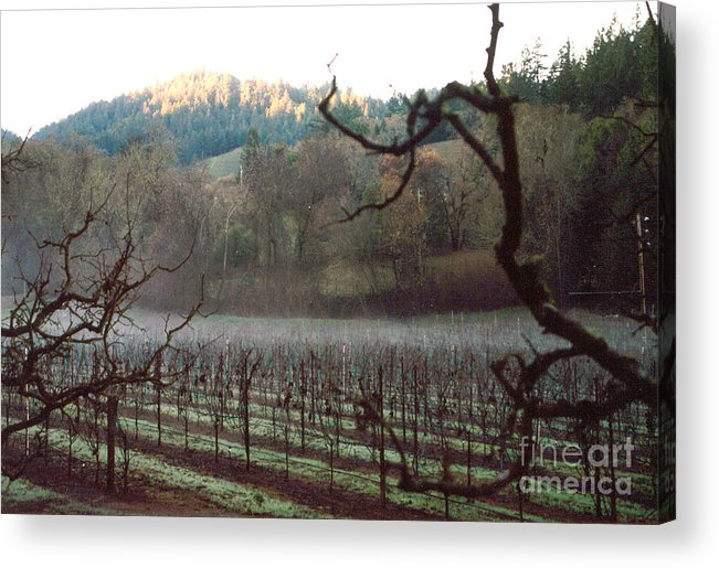 Vineyard Acrylic Print featuring the photograph Vineyard In The Winter by PJ Cloud