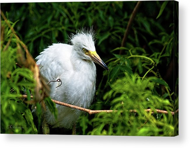 Egret Acrylic Print featuring the photograph Waiting Patiently by Christopher Holmes