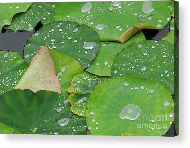 Water Lilies Acrylic Print featuring the photograph Waterdrops On Lotus Leaves by Silke Magino