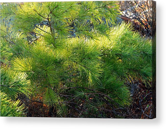 Photography Acrylic Print featuring the photograph Whispering Pines by Larry Ricker