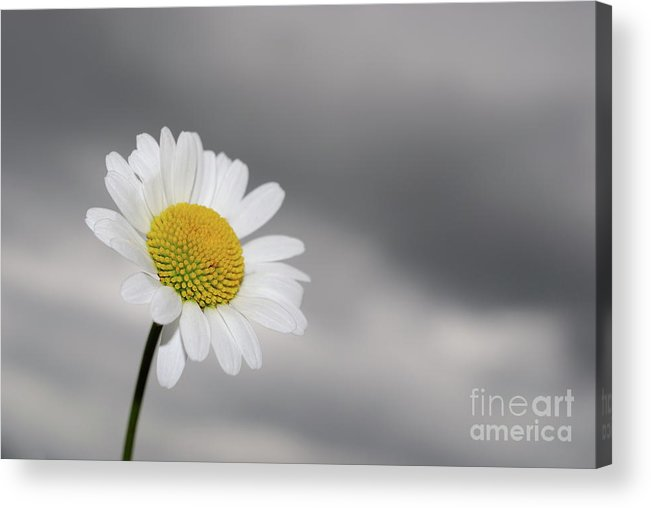 Focus Acrylic Print featuring the photograph White Daisy by Sami Sarkis