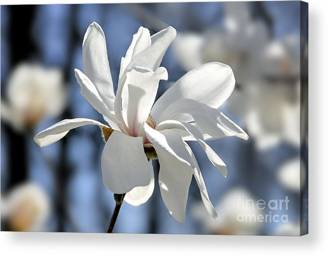 Magnolia Acrylic Print featuring the photograph White Magnolia by Elena Elisseeva