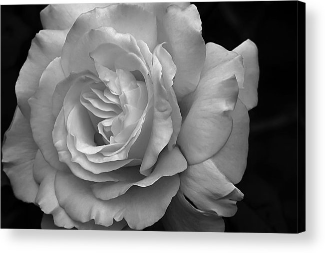 White Simplicity Acrylic Print featuring the photograph White Simplicity Rose Macro by Emerald Studio Photography