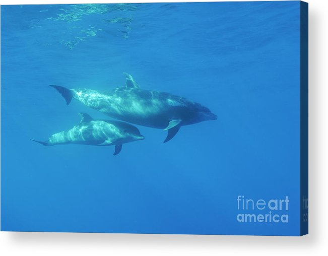 Sun Acrylic Print featuring the photograph Wild Bottle-nosed Dolphin Mother And Calf by Sami Sarkis