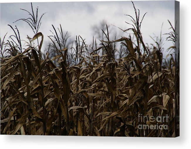 Corn Acrylic Print featuring the photograph Wind Blown by Linda Shafer