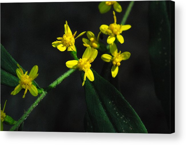 Wildflower Acrylic Print featuring the photograph Yellow Wildflower by Erik Berglund