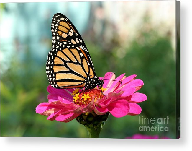 Monarch Butterfly Acrylic Print featuring the photograph Zinnia With The Monarch by Steve Augustin
