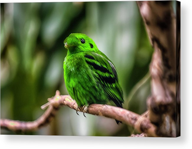 Animal Themes Acrylic Print featuring the photograph Green Broadbill by By Ken Ilio