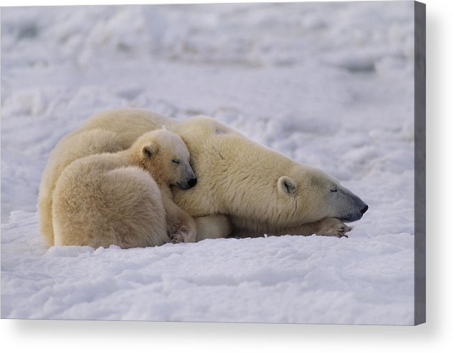 Animal Acrylic Print featuring the photograph Polar Bear With Cub, Ursus Maritimus by Mint Images