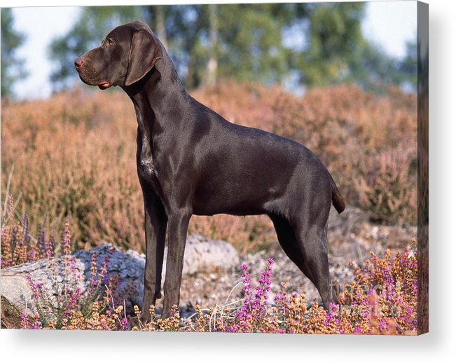 German Short-haired Pointer Acrylic Print featuring the photograph German Short-haired Pointer Puppy by John Daniels