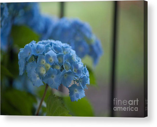 Hydrangea Acrylic Print featuring the photograph Soft Blue Hydrangea by Mike Reid