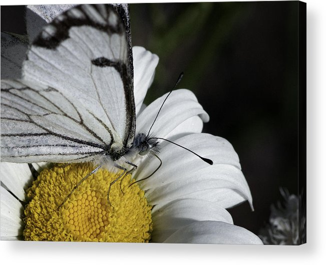 Pine White Acrylic Print featuring the photograph Pine White Butterfly by Betty Depee