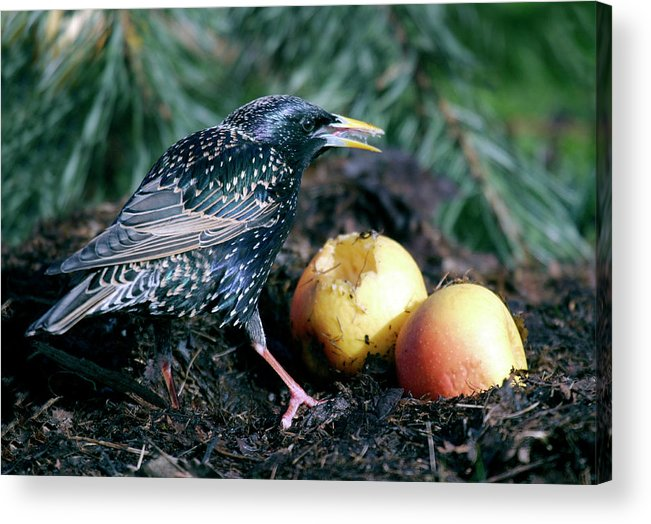 Starling Acrylic Print featuring the photograph European Starling by John Devries/science Photo Library