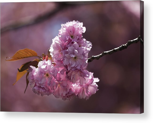 Cherry Blossoms Acrylic Print featuring the photograph Cherry Blossoms by Robert Ullmann