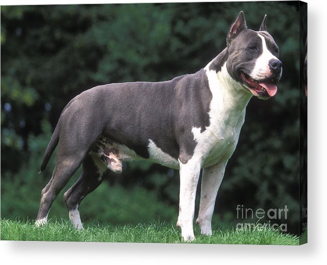 American Staffordshire Terrier Acrylic Print featuring the photograph American Staffordshire Terrier by Jean-Michel Labat