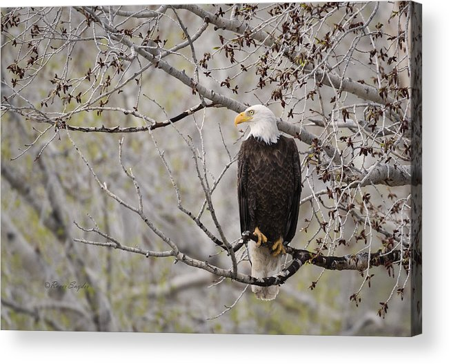Beautiful Acrylic Print featuring the photograph Bald Eagle At Belfry Mt by Roger Snyder