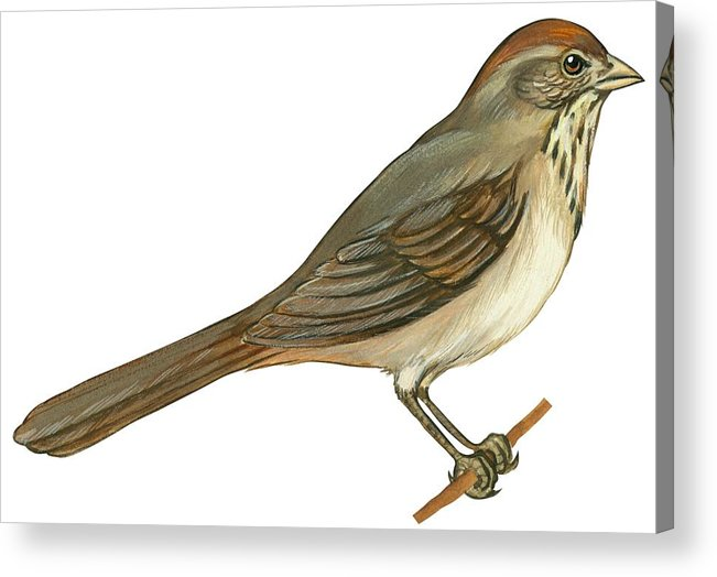 No People; Horizontal; Side View; Full Length; White Background; One Animal; Wildlife; Close Up; Illustration And Painting; Zoology; Bird; Branch; Wing; Feather; Perching; Beak; Tail; Brown; Brown Towhee; Pipilo Fuscus Acrylic Print featuring the drawing Brown Towhee by Anonymous