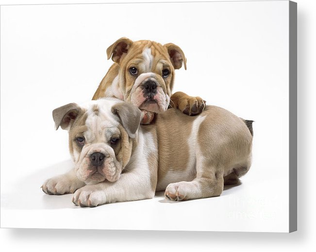 Bulldog Acrylic Print featuring the photograph Bulldog Puppies, One On Top Of The Other by John Daniels