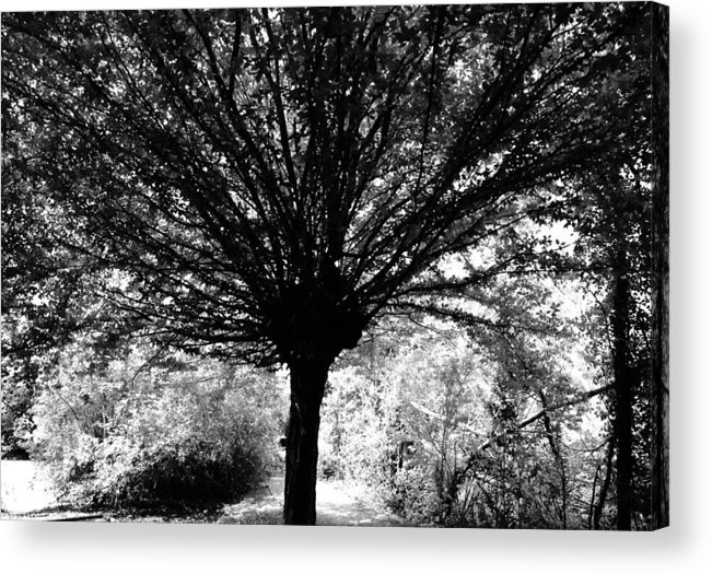 Trees Acrylic Print featuring the photograph Bursting Beech by Kate Gibson Oswald