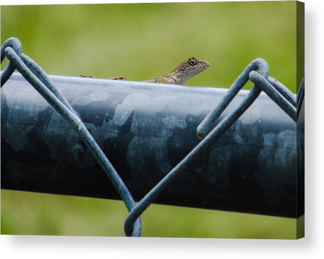 Brown Anole Acrylic Print featuring the photograph Chain Link Highway by Zech Browning