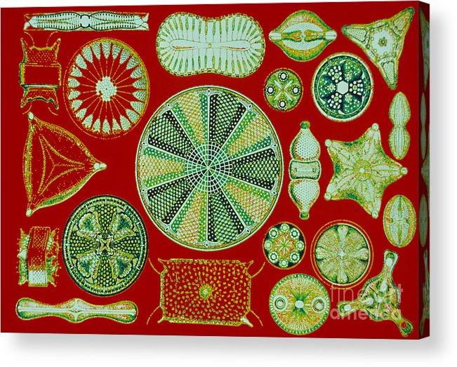 Diatom Acrylic Print featuring the photograph Diatoms-ernst Haeckel by Scott Camazine