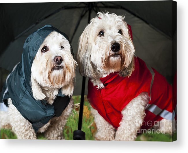 Dogs Acrylic Print featuring the photograph Dogs Under Umbrella by Elena Elisseeva