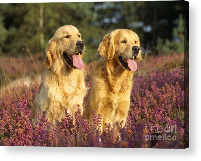 Golden Retriever Acrylic Print featuring the photograph Golden Retrievers Dogs by John Daniels