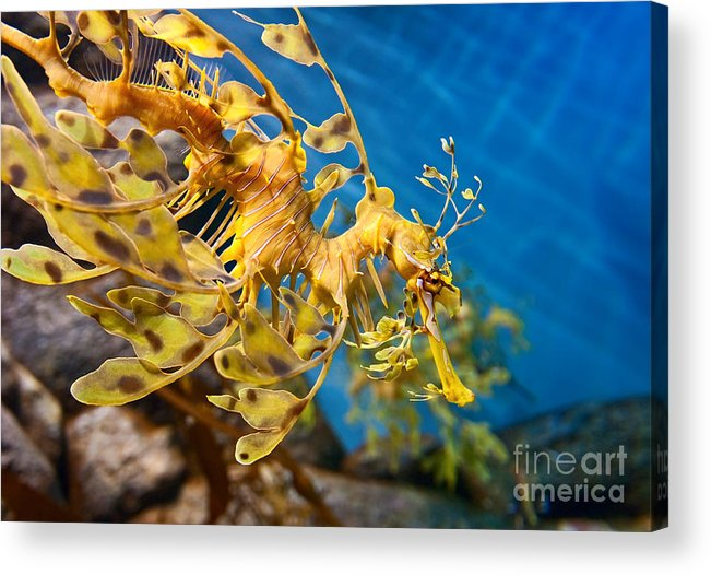 Animals Acrylic Print featuring the photograph Leafy Sea Dragon Phycodurus Eques. by Jamie Pham