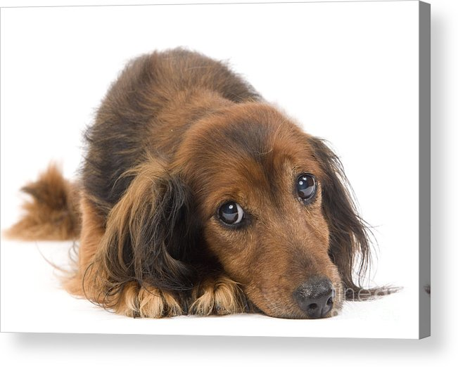 Long-haired Dachshund Acrylic Print featuring the photograph Long-haired Dachshund by Jean-Michel Labat