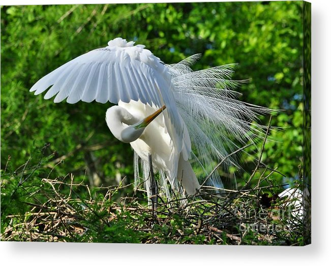 Birds Acrylic Print featuring the photograph Majestic Egret by Kathy Baccari