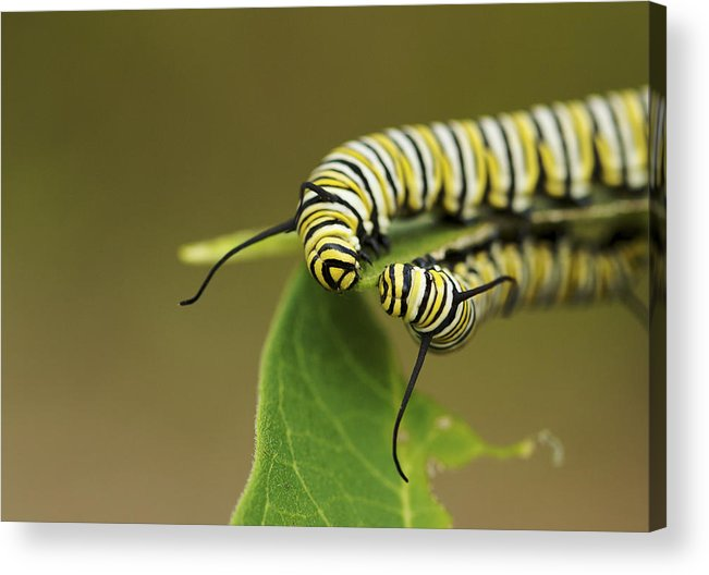 Nature Acrylic Print featuring the photograph Meeting In The Middle - Monarch Caterpillars by Jane Eleanor Nicholas