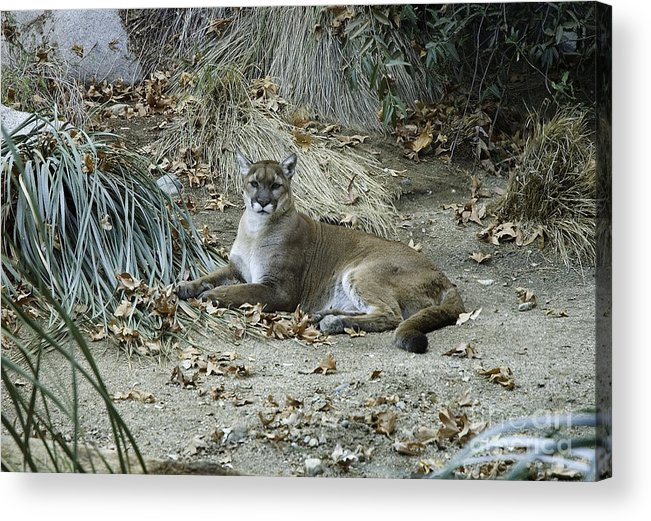 Peaceful Bobcat Acrylic Print featuring the photograph Bobcat by Mae Wertz
