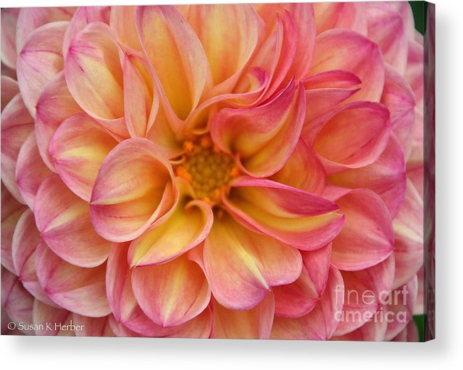 Flower Acrylic Print featuring the photograph Pure Pastels by Susan Herber
