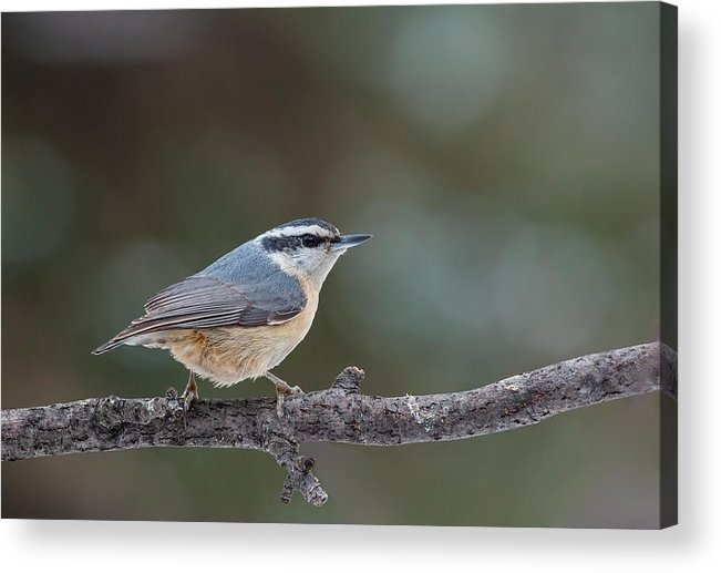 Nuthatch Acrylic Print featuring the photograph Red-breasted Nuthatch by Jim Zablotny