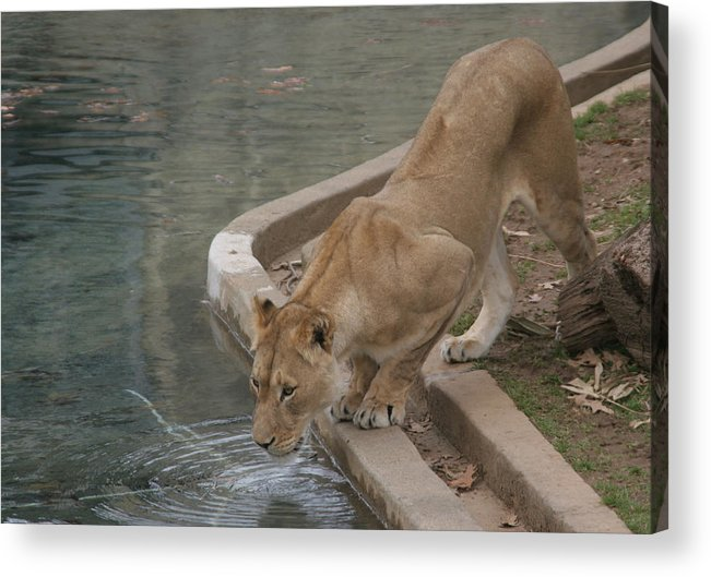 Lion Acrylic Print featuring the photograph Strength And Courage by Dervent Wiltshire
