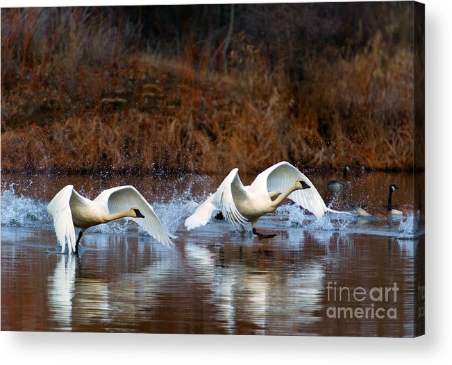 Swans Acrylic Print featuring the photograph Swan Lake by Mike Dawson
