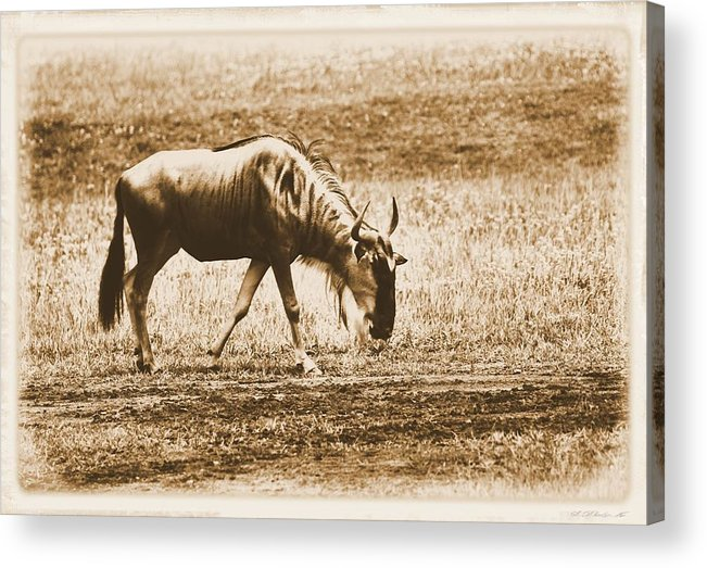 Vintage African Safari Wildebeest Acrylic Print featuring the photograph Vintage African Safari Wildbeest by Dan Sproul