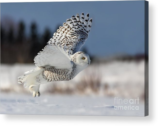 Art Acrylic Print featuring the photograph White Angel - Snowy Owl In Flight by Mircea Costina Photography