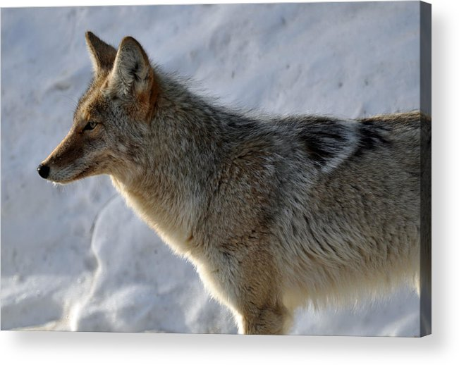 Coyote Acrylic Print featuring the photograph Winter Coyote In Yellowstone by Bruce Gourley