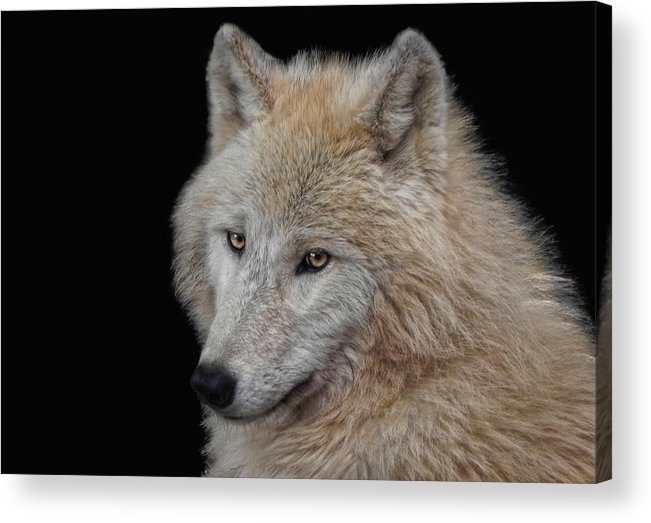 Animal Acrylic Print featuring the photograph Wolf Bride by Joachim G Pinkawa