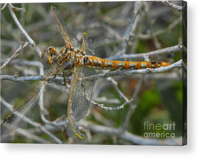 Yellow Dragonfly Acrylic Print featuring the photograph Yellow Dragonfly by Mae Wertz