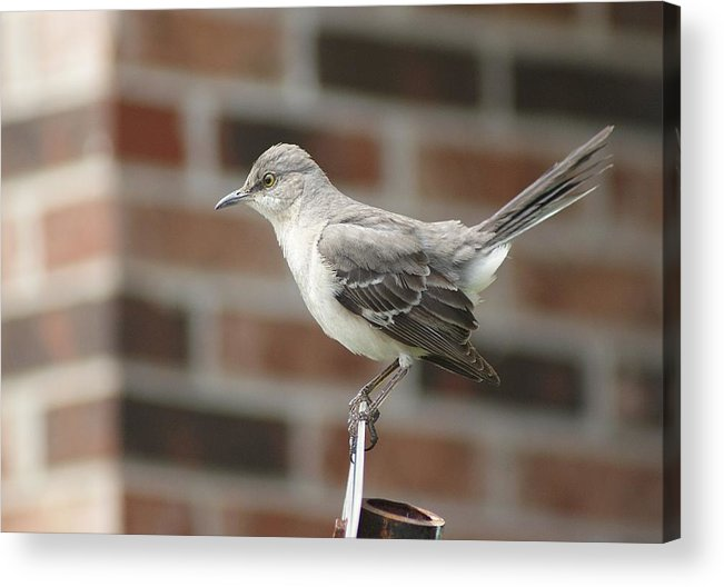 Birds Acrylic Print featuring the photograph The Mocking Bird by Rick Friedle