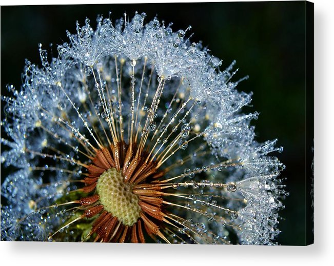 Flower; Plant; Garden; Sunlight; Nature; Macro; Dandelion; Winter; Background; Decorative; Blooming; White; Green; Brown; Dew; Droplets; Drops; Sparkle; Tears; Wet; Diamonds; Reflection; Water; Acrylic Print featuring the photograph Dandelion With Dew Drops by Werner Lehmann