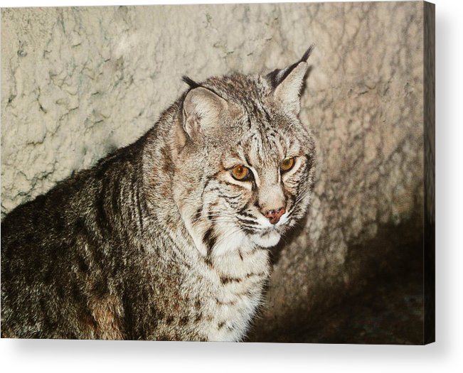 Bobcat Acrylic Print featuring the photograph Bobcat Iv by DiDi Higginbotham