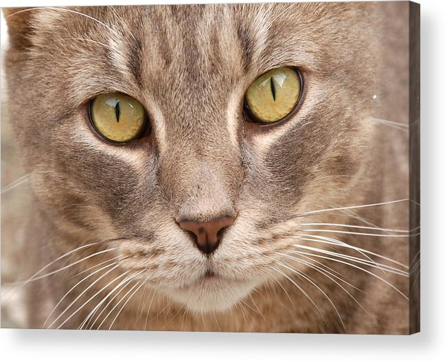 Cat Acrylic Print featuring the photograph Cat Eyes by Kathy Gibbons