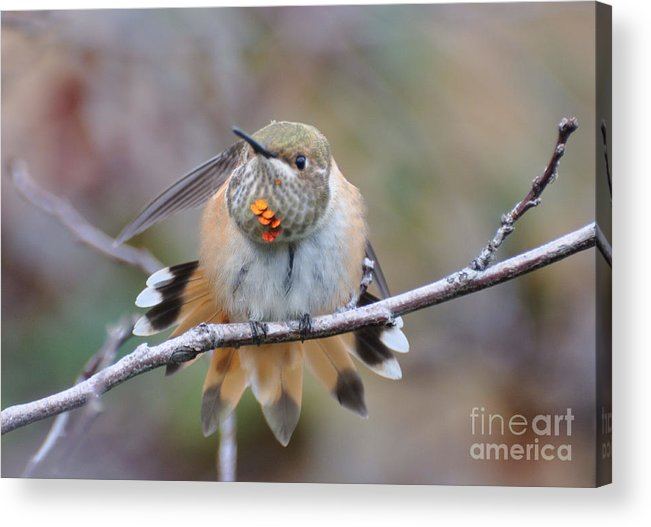 Rufus Hummingbird Acrylic Print featuring the photograph Hummingbird Stretch Two by Suzanne Handel
